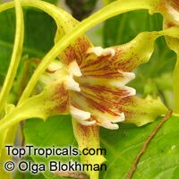 Strophanthus sp., Strophanthus  Click to see full-size image
