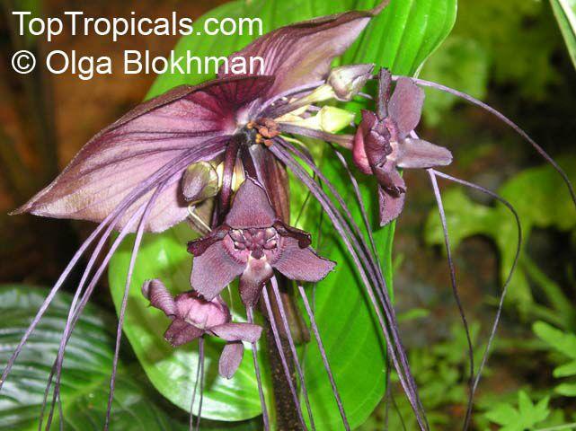 Devil Flower Plant Bat Flower Devil Flower