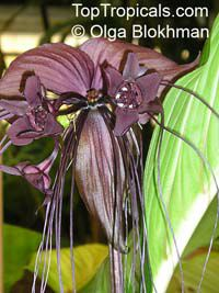 Tacca chantrieri, Bat Head Lily, Bat Flower, Devil Flower, Black Tacca