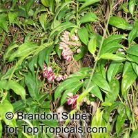 Thenardia floribunda, Petatillo  Click to see full-size image