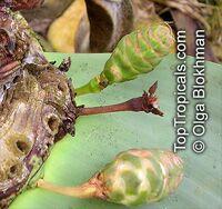 Welwitschia mirabilis, Welwitschia, TumboaClick to see full-size image