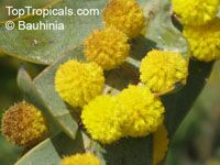 Acacia glaucoptera, Clay Wattle, Queen Wattle  Click to see full-size image