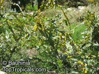Acacia glaucoptera, Clay Wattle, Queen Wattle