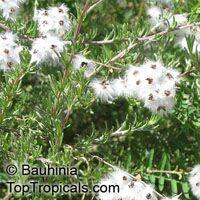 Eriocephalus africanus, Wild Rosemary, Cape Snow Bush  Click to see full-size image