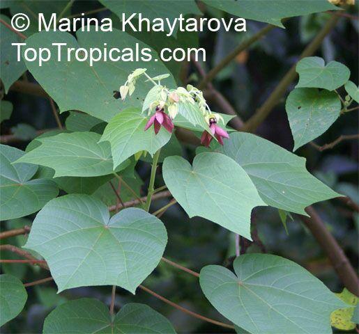 Abroma Augusta Devil Cotton Toptropicalscom