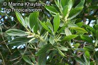 Acacia mangium, Mangium Wattle, Black Wattle, Hickory WattleClick to see full-size image