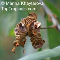 Acacia mangium, Mangium Wattle, Black Wattle, Hickory Wattle  Click to see full-size image