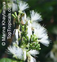 Archidendron lucyi, Scarlet Bean  Click to see full-size image