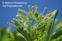 Tournefortia argentea, Argusia argentea , Octopus Bush, Tree Heliotrope, Velvetleaf Soldierbush  Click to see full-size image
