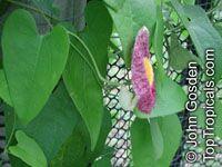 Aristolochia sp., AristolochiaClick to see full-size image
