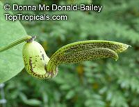 Aristolochia gilbertii, Dutchman's Pipe  Click to see full-size image