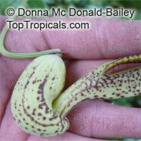 Aristolochia gilbertii, Dutchman's Pipe