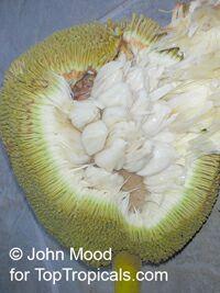 Artocarpus odoratissimus - Marang (w/express shipping)  Click to see full-size image