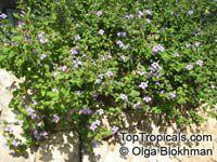 Barleria obtusa, Bush VioletClick to see full-size image