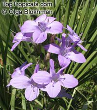 Barleria obtusa, Bush Violet  Click to see full-size image