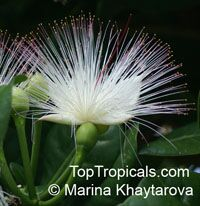 Barringtonia asiatica - Fish Poison Tree  Click to see full-size image