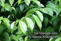 Bauhinia kockiana, Bauhinia coccinea, Phanera coccinea, Red Trailing Bauhinia  Click to see full-size image