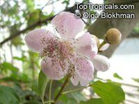 Bixa orellana, Lipstick tree, Annato  Click to see full-size image