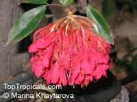 Brownea grandiceps, Rose of Venezuela, Scarlet Flame Bean
