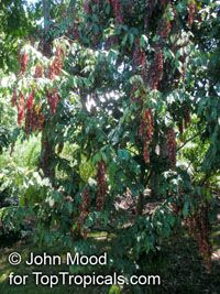 Browneopsis ucayalina , New Guinea Ghost Tree, Maroon Handkerchief  Click to see full-size image