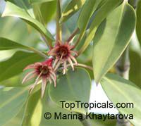 Bruguiera gymnorrhiza , Burma Mangrove, Black Mangrove Click to see full-size image