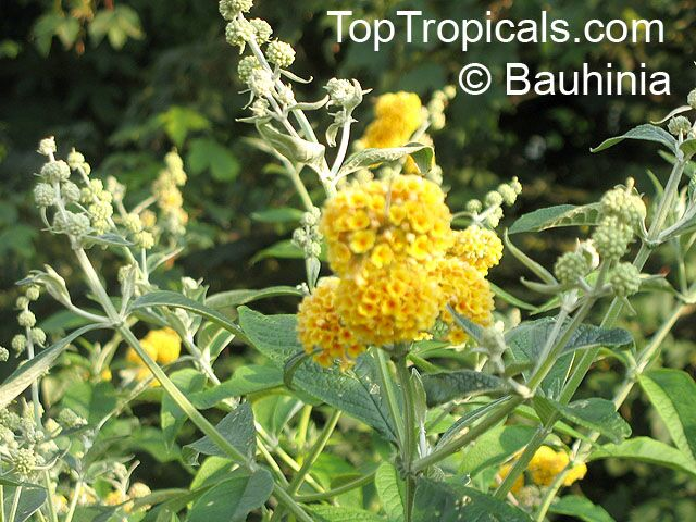 Buddleja Sp Butterfly Bush Toptropicals Com