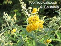 Buddleja sp., Butterfly Bush