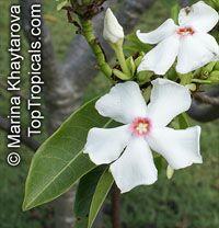 Cerbera manghas, Native Frangipani  Click to see full-size image