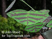Christia sp., SwallowtailClick to see full-size image