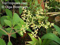Cyphostemma lanigerum, Cissus lanigera , Wooly Cyphostemma  Click to see full-size image