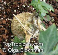 Coccinia sessilifolia, BorobohloloClick to see full-size image