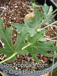 Coccinia sessilifolia, Borobohlolo  Click to see full-size image