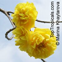 Cochlospermum regium, Yellow Cotton Tree 