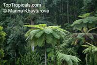Cyathea contaminans, Blue Tree Fern