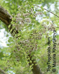 Dalbergia oliveri , Burma Tulipwood, Pinkwood, Tamalan Tree  Click to see full-size image