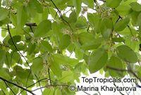 Dipterocarpus sp., Dipterocarpus  Click to see full-size image