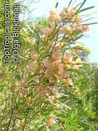 Dodonaea rigida, Dodonaea filifolia, Dodonaea falcata , Threadleaf Hopbush