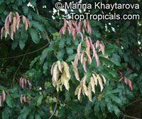 Elateriospermum tapos , Kra, Perah, Tapos  Click to see full-size image
