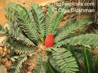 Encephalartos ferox , Tongaland Cycad   Click to see full-size image