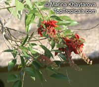 Erythrina fusca, Erythrina glauca , Cape Kaffirboom, Gallito, Coral bean, Bois Immortelle  Click to see full-size image