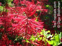 Erythrina herbacea, Coral tree, Coral bean, Cardinal-spear, Cherokee-bean  Click to see full-size image
