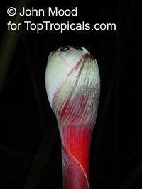 Etlingera maingayi, Malay RoseClick to see full-size image