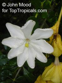 Gardenia resiniflua - seeds  Click to see full-size image