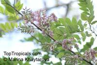 Gliricidia maculata, Gliricidia sepium, Gliricidia, Madre de Cacao, MaduraClick to see full-size image