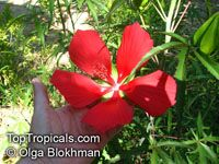 Hibiscus coccineus, Scarlet Hibiscus, Scarlet Rose Mallow, Swamp Hibiscus