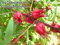 Hibiscus sabdariffa, Karkade, Red sorrel, Red tea, RoselleClick to see full-size image