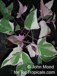 Ipomoea batatas, Sweet Potato Vine, Camote, Boniato  Click to see full-size image