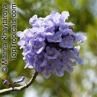 Jacaranda obtusifolia - Blue Jacaranda  Click to see full-size image