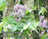 Lagerstroemia loudonii, Thai Bungor