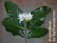 Saba comorensis, Landolphia comorensis, Mbungu, White Rubber Vine, Vbundu  Click to see full-size image